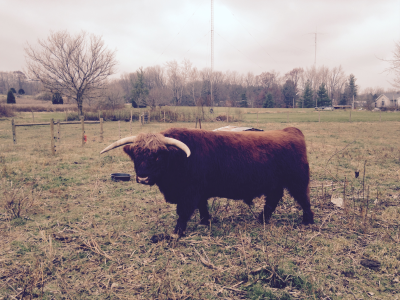 "Meet ""Duff"":  Scottish Highlander"