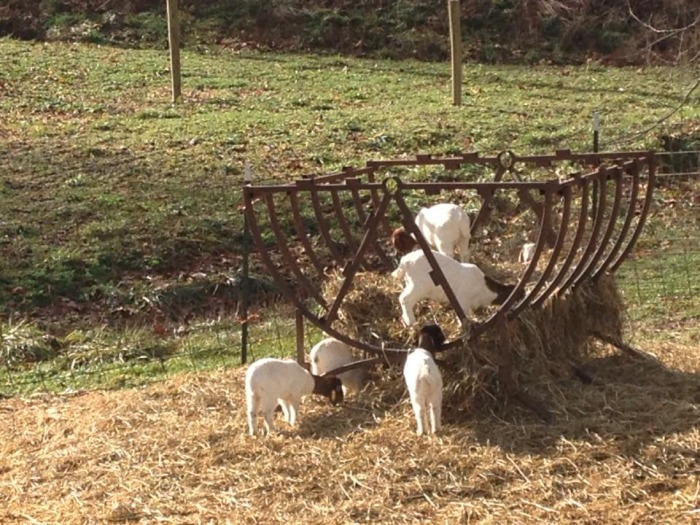 Goats in the feeder